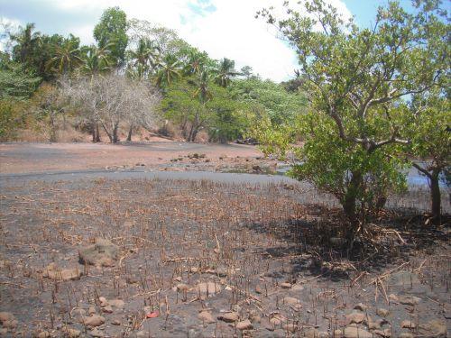 Plage d'Iloni, mangrove et système racinaire ©F. Brossard